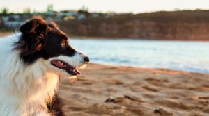 Border Collie Dog Looking at Water