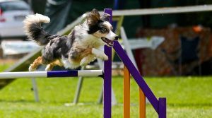 Dog-Jumping-Over-Obstacle