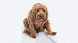 Goldendoodle-Scooting-in-Snow