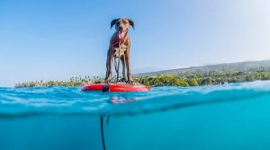 Happy Dog on a Paddle Board