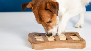 Jack Russell Solving a Puzzle