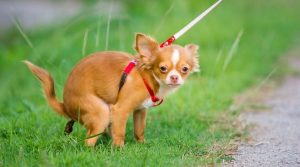 Chihuahua-Going-Potty-in-the-Grass