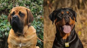 Close-Up-Images-of-Two-Brown-and-Black-Dogs