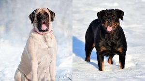 Dogs-in-the-Snow-With-Tongues-Out