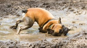French-Bulldog-Rubbing-Its-Neck-in-a-Puddle