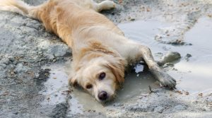 Golden-Dog-Laying-in-Wet-Dirt