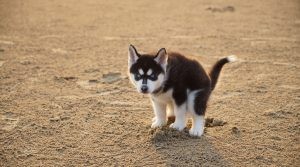 Husky-Puppy-Relieving-Itself-in-Some-Sand