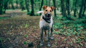 Jack-Russell-Covered-in-Dirt