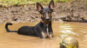 Mutt-Playing-in-a-Puddle