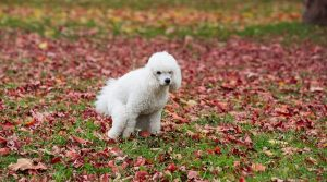 Poodle-Defecating-Outside-on-a-Fall-Day