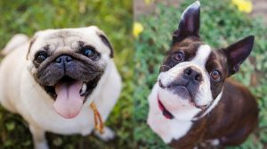 Two-Small-Breed-Dogs-Looking-Up