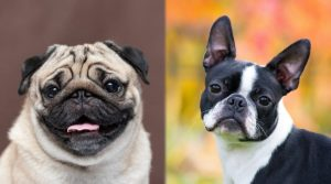 Two-Small-Breed-Dogs-Looking-at-Camera