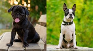 Two-Small-Breed-Dogs-Training