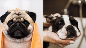 Two-Small-Dogs-Being-Bathed