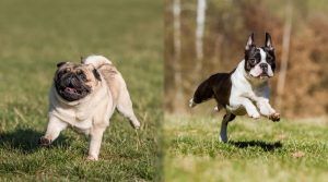 Two-Small-Dogs-Playing-in-Grass-Outdoors