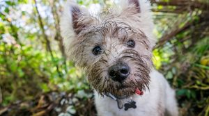 White-Dog-With-Dirty-Face