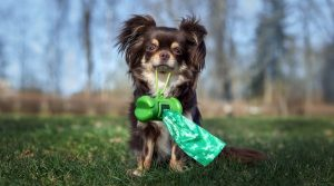 Chihuahua-Holding-Poop-Bags-in-its-Mouth