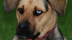 German-Shepherd-Boxer-Mix-With-Different-Colored-Eyes