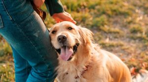 Golden-Retriever-Happily-Greeting-a-Human