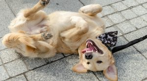 Happy-Gold-Retriever-on-Its-Back