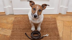 Jack-Russell-Waiting-to-go-on-a-Walk