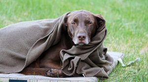 Lab-Wrapped-in-a-Blanket
