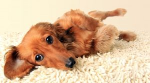 Long-Haired-Dachshund-Laying-on-a-Yellow-Rug