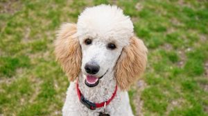 Poodle-sitting-on-Grass-at-the-dog-park