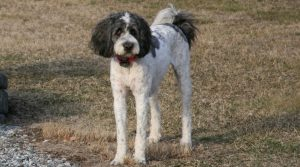 Saint-Berdoodle-Playing-with-other-Dogs