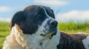 Saint-Bernard-Poodle-Mix-laying-in-the-field