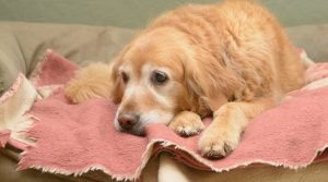 Senior-Gold-Retriever-Laying-on-a-Pink-Blanket