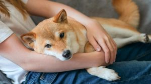 Shiba-Inu-Laying-on-its-Owner