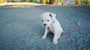 Young-Puppy-on-a-Purple-Leash