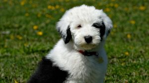 Border-Collie-Poodle-Playing-in-Field