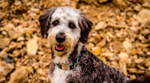 Border-Collie-Poodle-mix-outdoors-in-fall