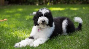 Bordoodle-Laying-in-the-Grass-Outdoors