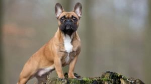 Brown-Dog-With-Black-Muzzle-Standing