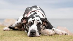Giant-Breed-Spotted-Dog-Laying-Down