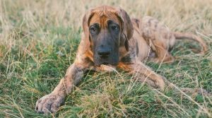 Giant-Healthy-Brindle-Puppy-Outdoors