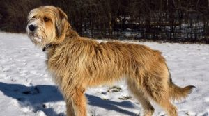 Great-Wolfhound