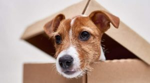Jack-Russell-Poking-His-Head-Out-of-a-Box