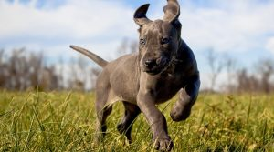Puppy-with-Grey-Coat-Running-Outdoors