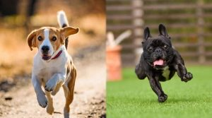 Running-Dogs-That-Look-Happy
