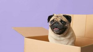 Smiling-Pug-in-a-Box
