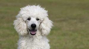 Standard-Poodle-Outdoors