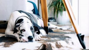White-and-Black-Dog-Laying-on-Floor