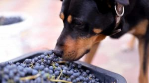 Black-and-Rust-Dog-Sniffing-at-Red-Fruits