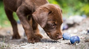 Chocolate-Lab-Puppy-Looking-at-Purple-Fruit