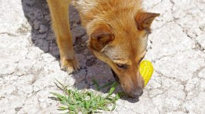 Dog-Chewing-on-Yellow-Kernel-Vegetable