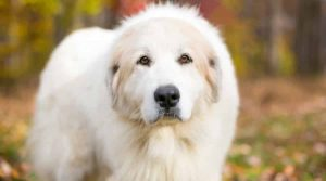 Giant-Great-Pyrenees-Dog